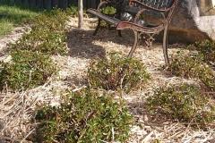 Miscanthus-Häcksel als Mulchmaterial im Rosenbeet